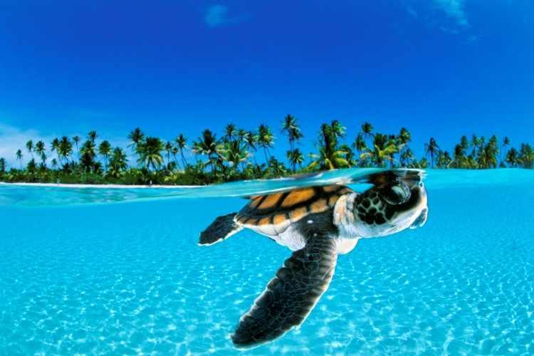 Детеныш зеленой морской черепахи David Doubilet