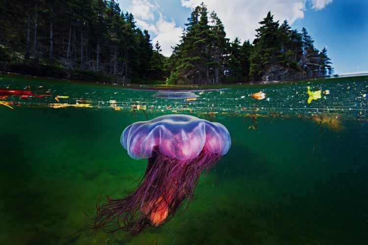 Медуза с львиной гривой, фьорд Бонн-Бей, Национальный парк Грос - Морн, Ньюфаундленд, Канада, 2012