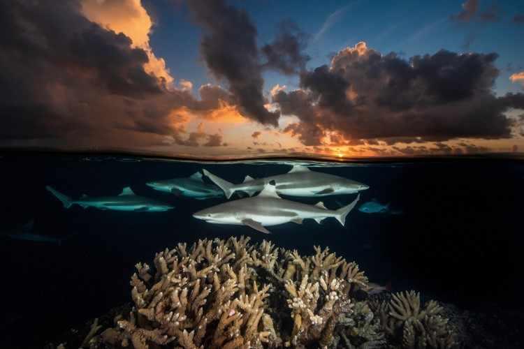 Рифовые акулы с черным кончиком, Южный перевал, атолл Факарава, Французская Полинезия, 2018